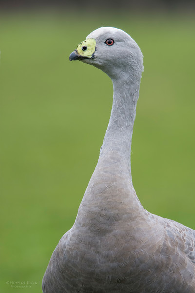 Cape Barren Goose, Eaglehawk Neck Pelagic, TAS, July 2015-2.jpg