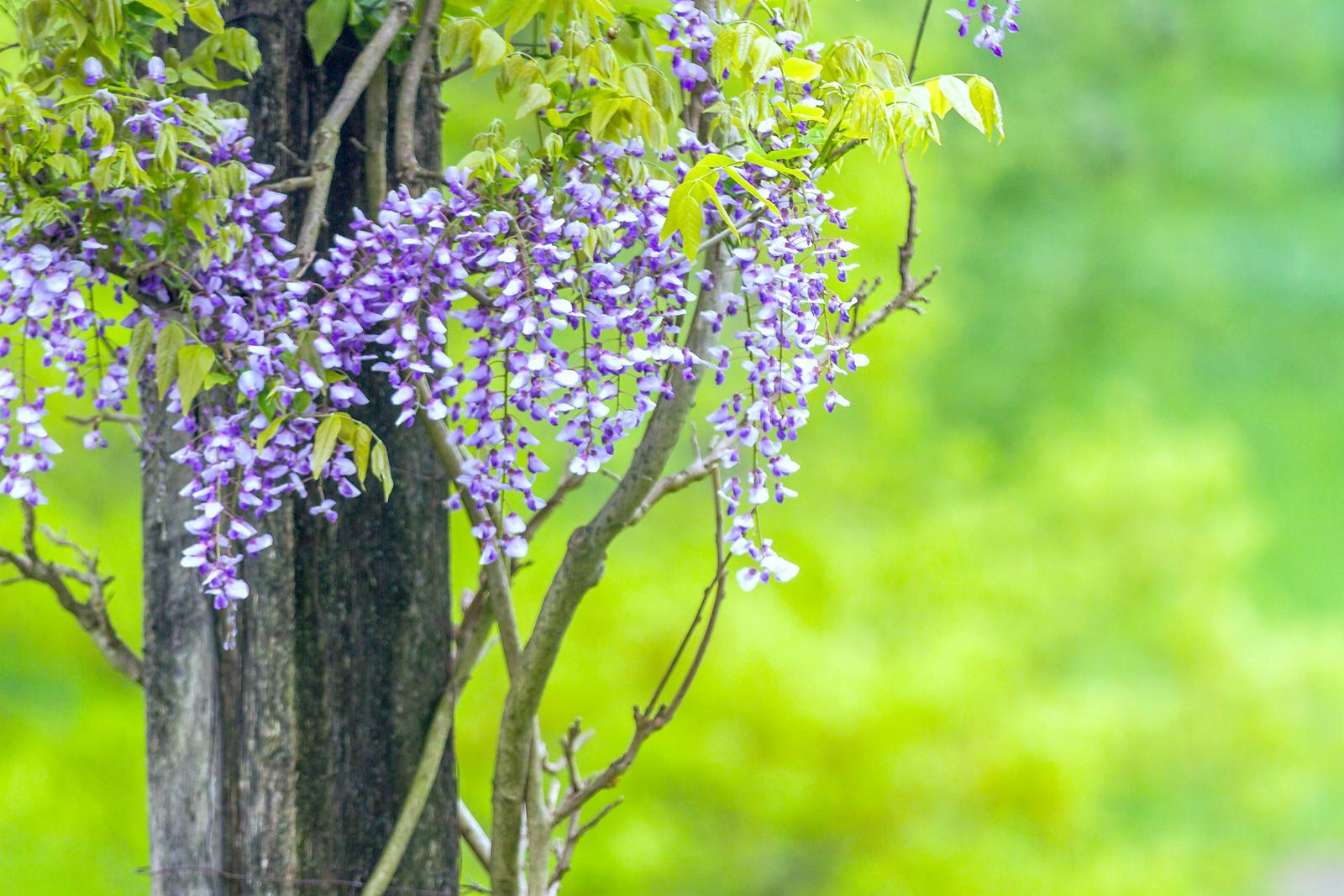 紫藤花相遇在春天