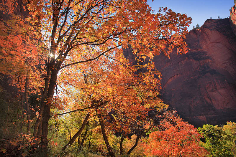 Backlit fall foliage in Zion National Park
