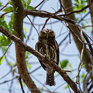 Braziliaanse dwerguil; Glaucidium brasilianum; Ferruginous pygmy owl; Chevêchette brune; Brasilzwergkauz