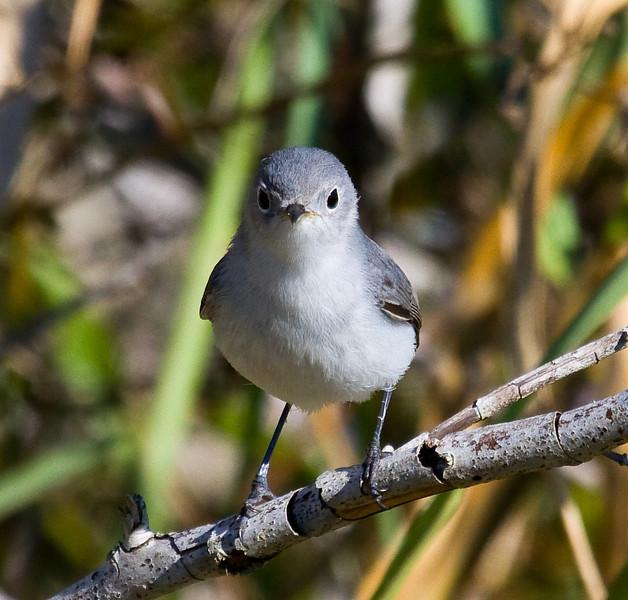 blue gray gnatcatcher