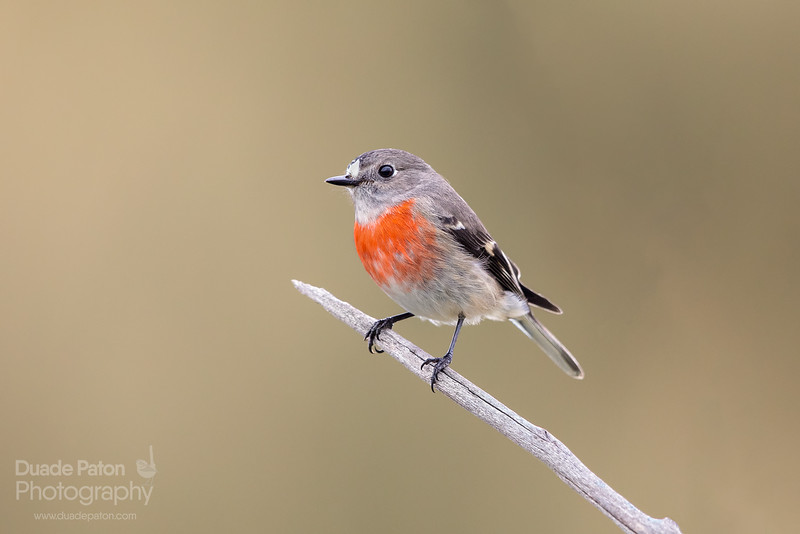 Scarlet Robin (Female)