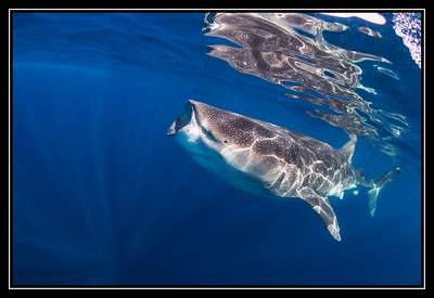Whale Shark Gallery