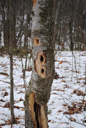 Woodpecker tree.jpg