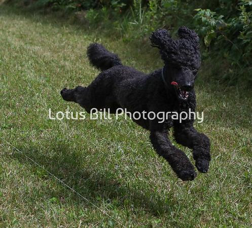 Black Standard Poodle SR2