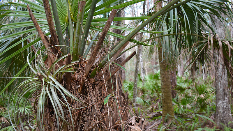 Bromeliad growing from cabbage palm