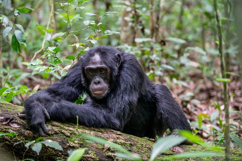Uganda_T_Chimps-315.jpg
