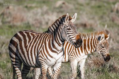 Hearst Zebras - 2016