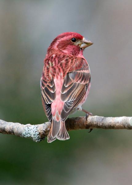 Finch - Purple - male - Dunning Lake, MN - 03