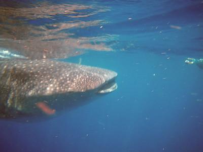 Whale Shark trip Puerto Juarez 2011