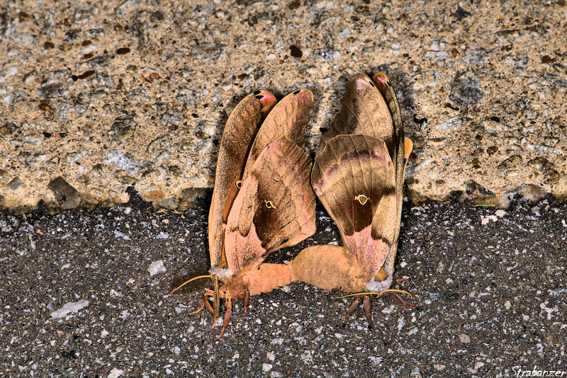 Moths mating.