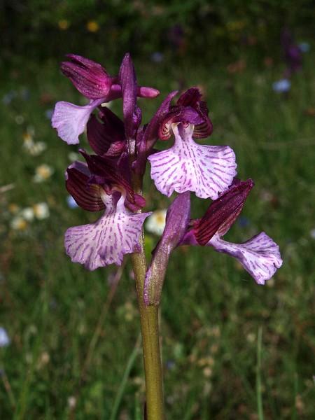 O. paillonacea ssp. grandiflora Borgo Celano 30-04-10 (6).jpg