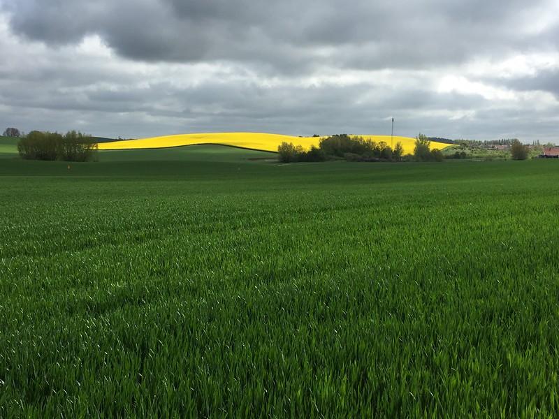 20150514 Sverige, Torup Bara Kvissle Fields of colza.