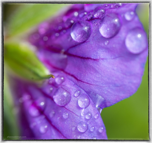 Water Droplets on Geranium