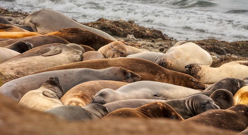 Seals 1, Año Nuevo State Park, California, 2010