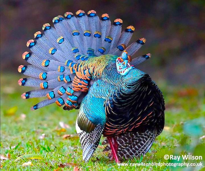 Occelated Turkey 1.jpg
