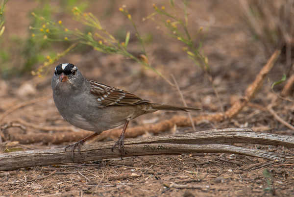 White-crowned SparrowLL _DWL0018.jpg