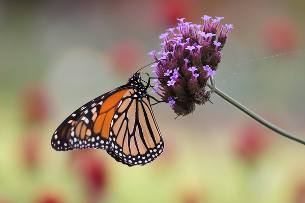 Monarch & flowers.jpg