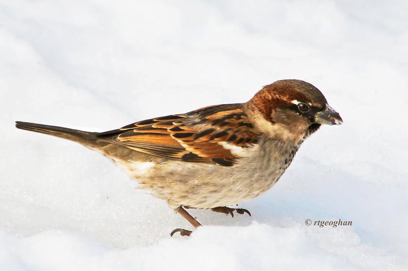 Feb 13_SparrowSnow_5781.jpg