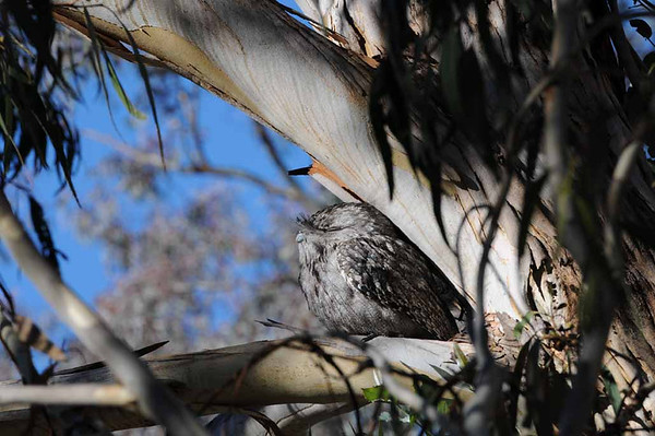 Frogmouths and fog 25 May 2013