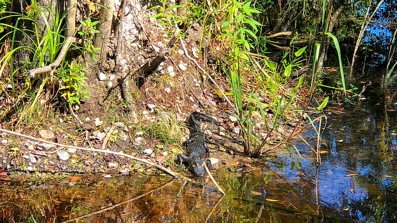 alligator sunning next to creek