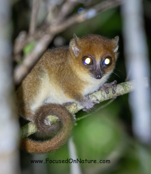 Masoala Mouse Lemur (Undescribed Species)