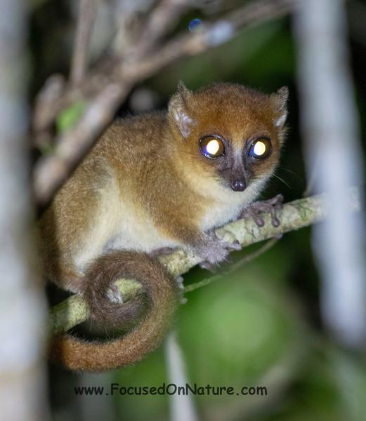 Masoala Mouse Lemur (Undescribed Species)