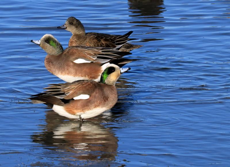 Ducks IMG_4068.jpg