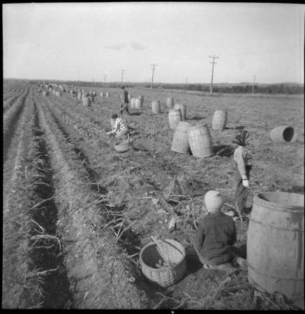 f-potato field, picking.jpg