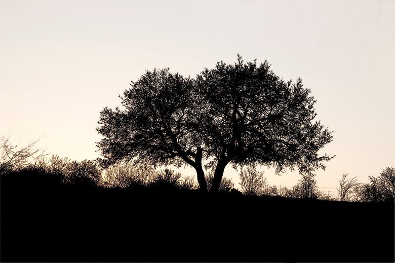 2009-03-29 Llano tree silhouette sketch0163 as Smart Object-1.jpg