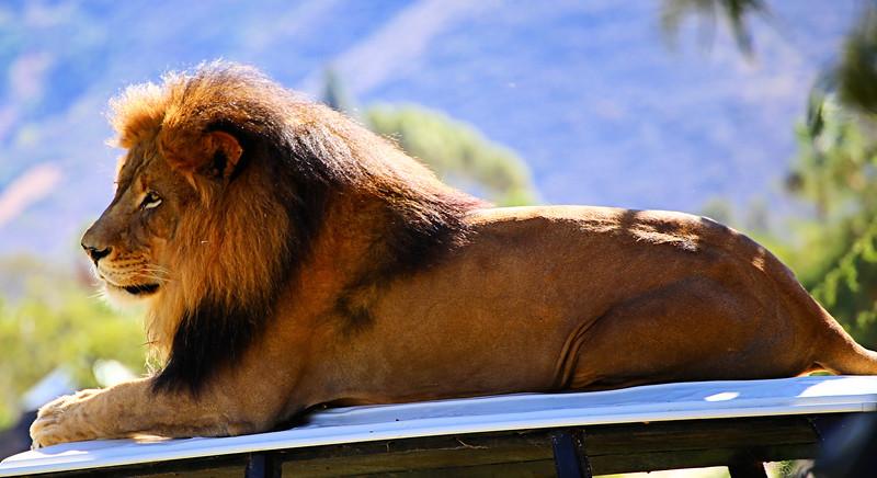 Lion Dad 2.jpg