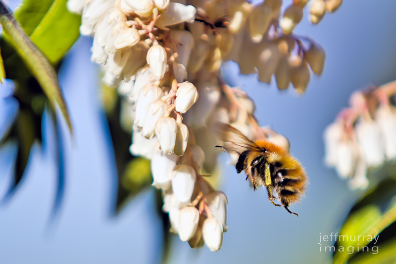 The bee approaches the white bell flowers.