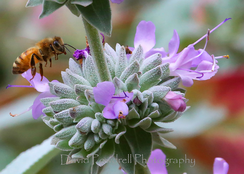 A bee and some purple sage along the Franklin Trail.jpg