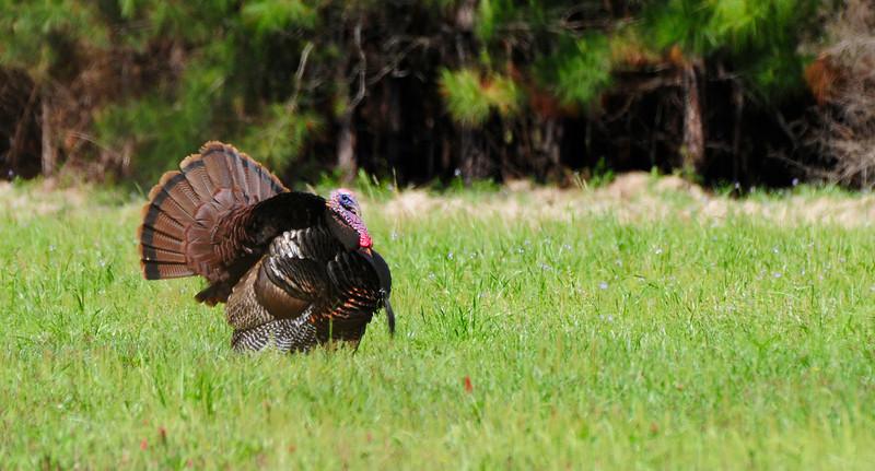Wild Turkey Strutting_3.jpg