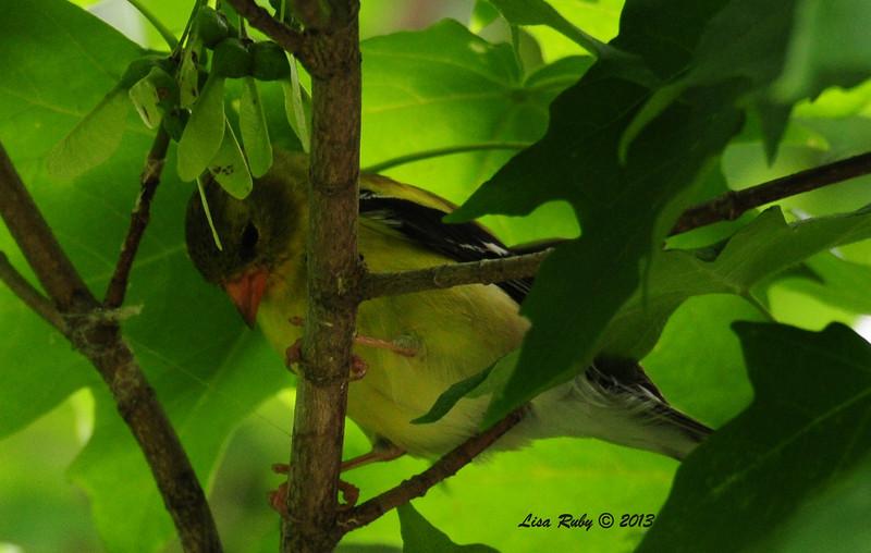 American Goldfinch - 6/29/2013 - Decorah, Iowa