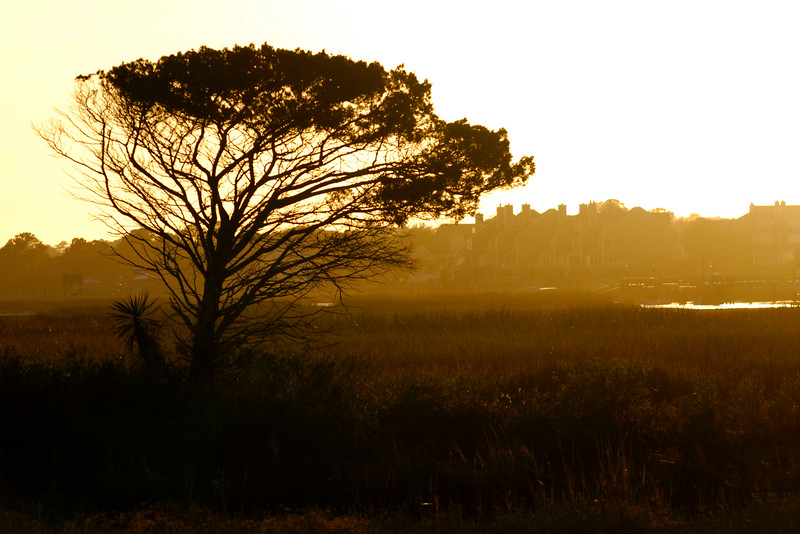 A single windswept tree stands in the marshes in Garden City Beach, South Carolina on Monday, November 14, 2011. Copyright 2011 Jason Barnette