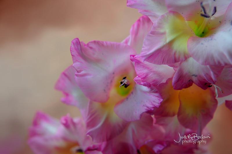 gladiolo rosa 061.jpg