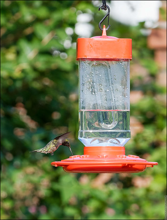 Hummingbirds 2021 and other stuff