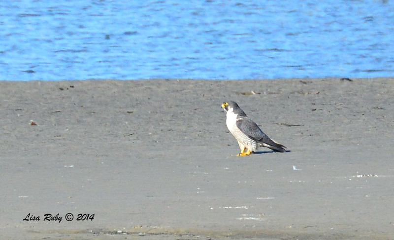 Peregrine Falcon - 12/29/2014 - Sitting on large mud flat at Robb Field