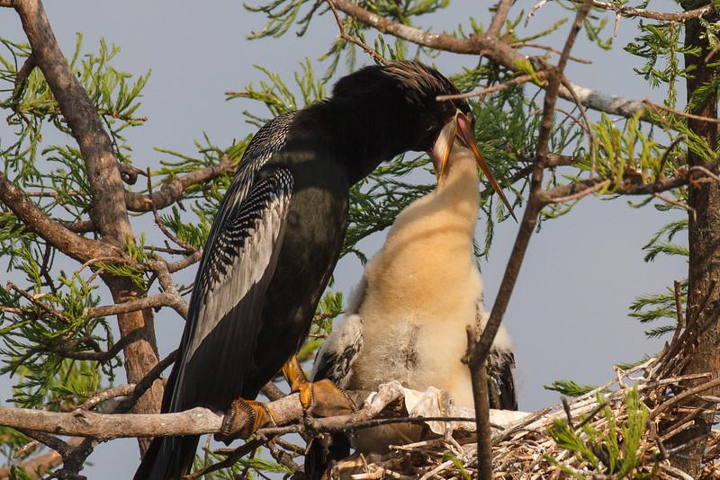Snakebird Feeding Juvenile-2335.jpg