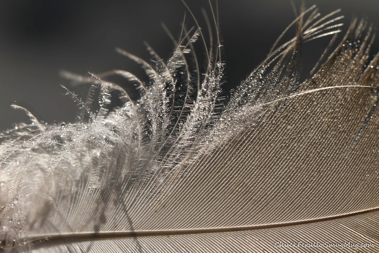 Feather with Dew