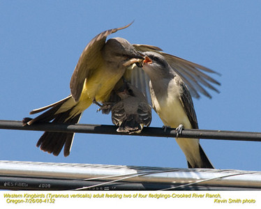 WesternKingbirdsA&J4132.jpg