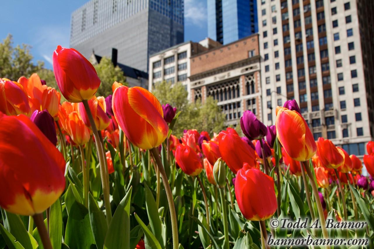 Tulips, Millennium Park