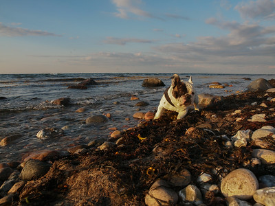 Our French Bulldog Gimli on the beach