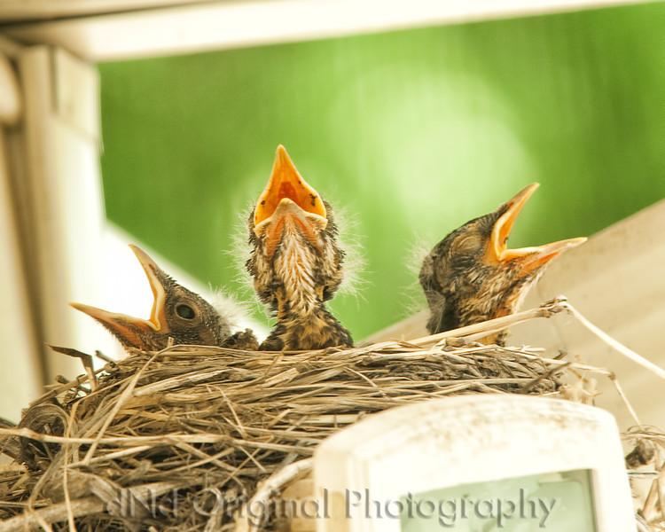 051 Baby Robins Spring 2013.jpg