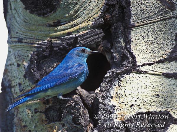 Male Mountain Bluebird