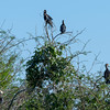 Anhingas and a cormorant