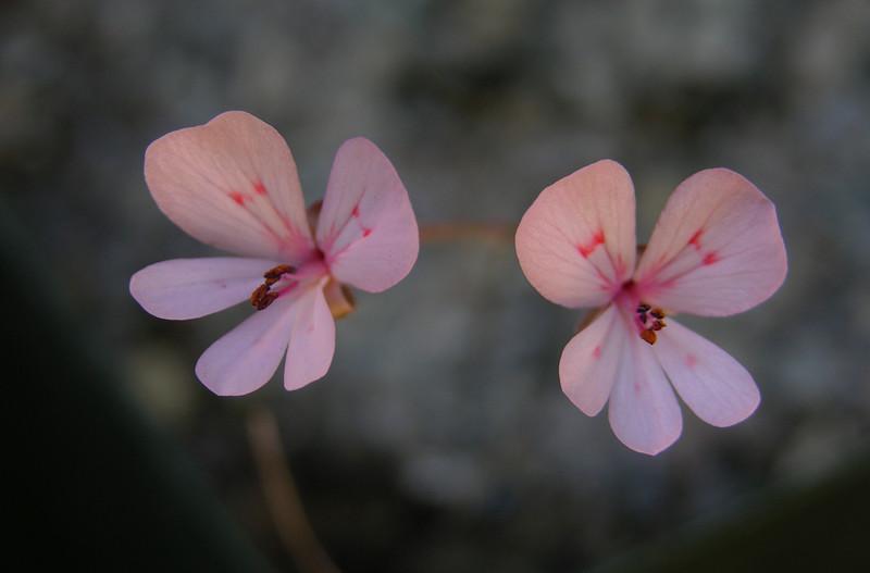 Pelargonium nephrophyllum flowers pink
