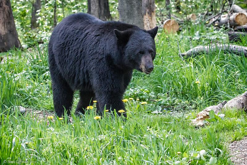 20120519-_MG_5890Black_Bears-Edit.jpg