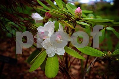 3/22/17 Azalea & Spring Flower Trail 2017 by Sheri Hendrick, Brenda Craig & Steve Mason